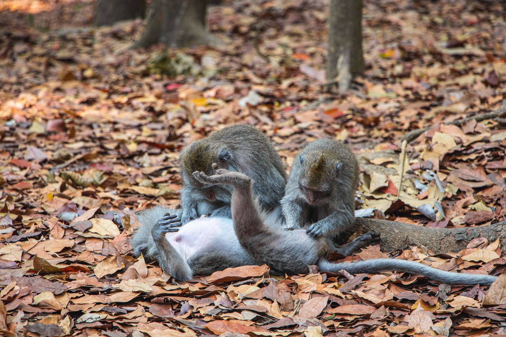 Crab-eating macaque in Monkey Forest